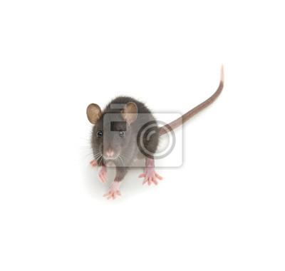 Rat isolated on white