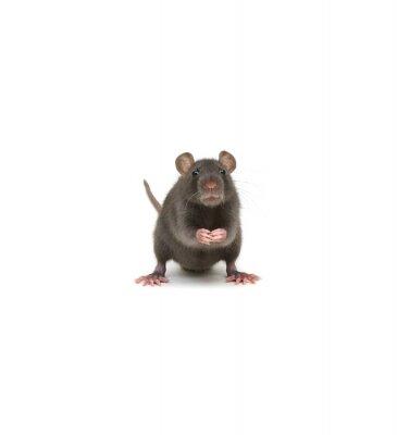 Rat isolated on white background