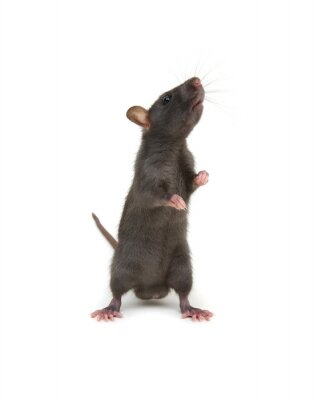 Rat standing on hind legs on white