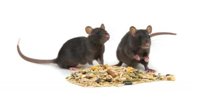 Rats and rodents feed on white