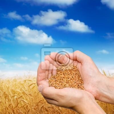 Ręce plantatora ziarna z pszeniczne pola