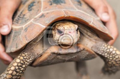 Fototapeta Ręce trzyma żółwia