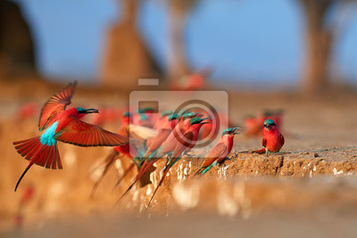 Fototapeta Red birds. Colorful Southern Carmine bee-eater, Merops nubicoides, colony of red and blue winged african birds on the bank of Zambezi river. Bird photography in ManaPools, Zimbabwe.