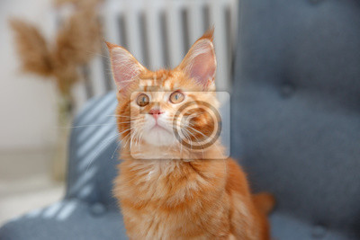 Fototapeta red cat sitting on a chair. Red cat Maine Coon