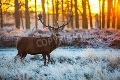 Fototapeta Red Deer in Morning Sun
