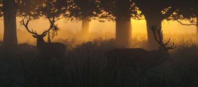 Fototapeta Red Deer Jelenie o świcie