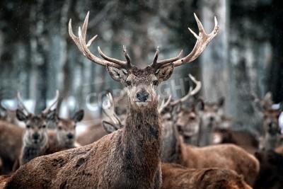 Fototapeta Red Deer Stag i Stado Cervus elaphus w szkockim Winter Snow