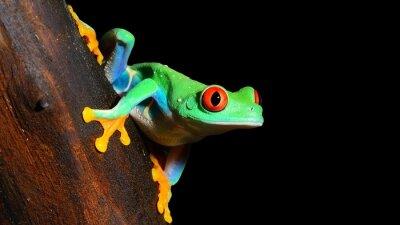 Fototapeta red-eye tree frog  Agalychnis callidryas