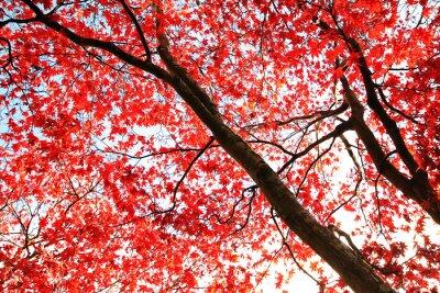 Fototapeta Red Japanese Maple drzewa w parku