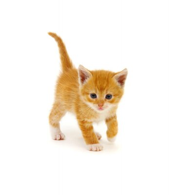 Red kitten isolated on a white