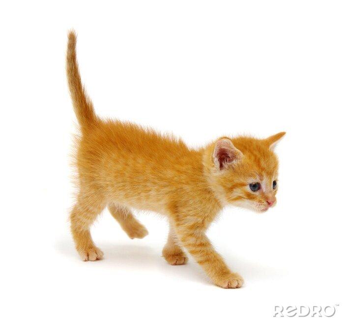 Fototapeta Red kitten isolated on a white