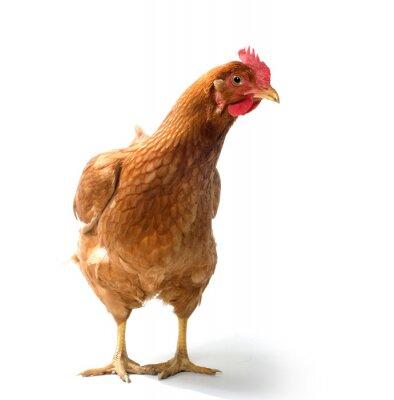 Fototapeta Red kurczaka związek sex