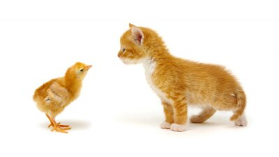 Red little cat and chick
