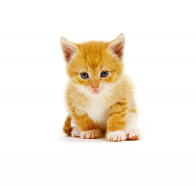 Red little cat on the white