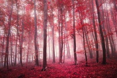 Fototapeta Red nasycony mistyczną sezon jesienny las bukowy krajobraz. Ton filtr czerwony kolor używany.