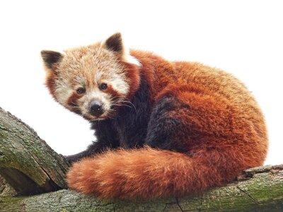 Fototapeta Red Panda (Ailurus fulgens)