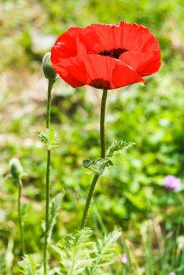 Fototapeta red poppy flower and bud on field