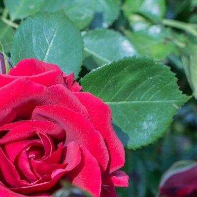 Fototapeta red rose in the corner