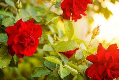 Fototapeta red roses bush at sunset light