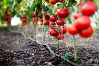 Fototapeta Red tomato