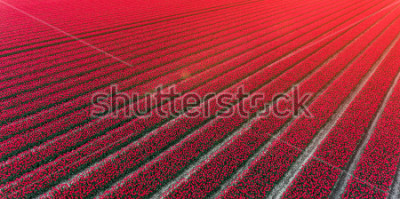Fototapeta Red tulip field Netherlands