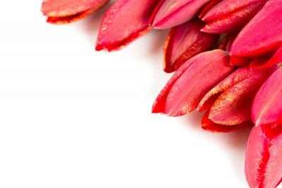 Fototapeta red tulips isolated on white