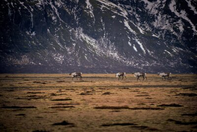 Renifery Caribou Islandia