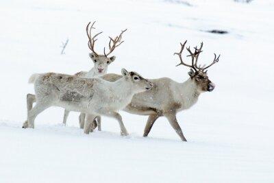 Fototapeta renifery w jej naturalnym środowisku w Skandynawii
