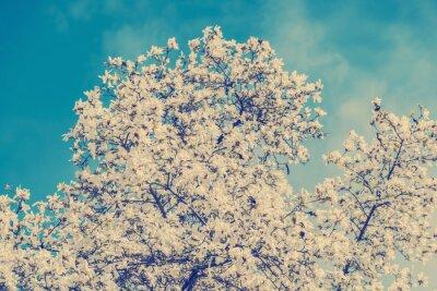 Fototapeta Retro Zdjęcie z białego Magnolia kwiaty na wiosnę