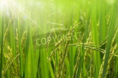 Fototapeta Rice field in the morning