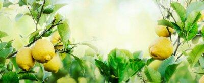 Fototapeta Ripe lemons hanging on lemon tree with sunlight and bokeh background. Fruit growing orchard. Nature frame design layout.
