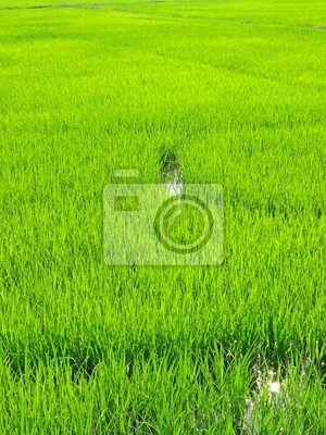 Fototapeta rizière thailande