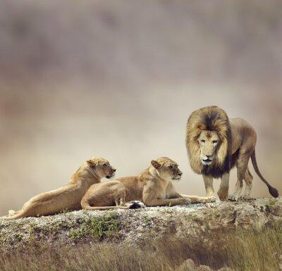 Fototapeta Rodzina Lions