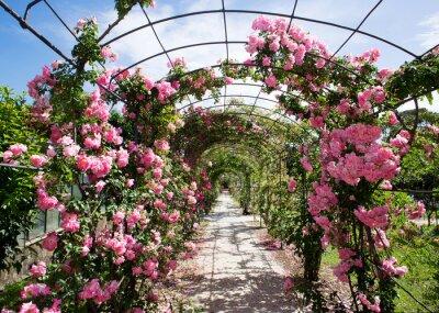 Fototapeta romantic rosebed walk under blue sky