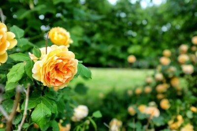 Fototapeta Rose