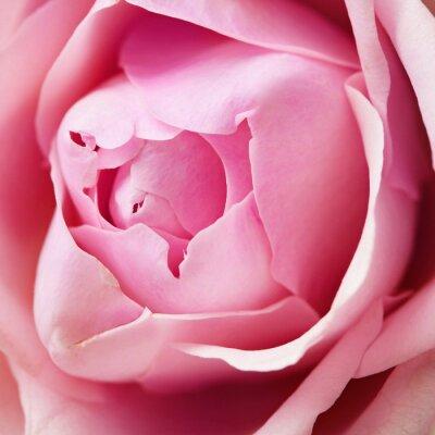 Fototapeta rose flower details