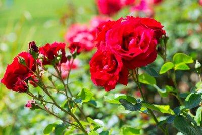Fototapeta roślin kwitnących czerwonych róż