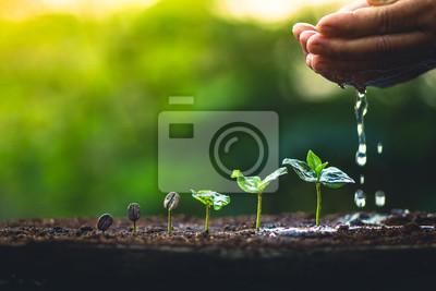 Fototapeta Rosnąć ziaren kawy Plant coffee tree Pielęgnacja rąk i podlewanie drzew Wieczorem światło w przyrodzie