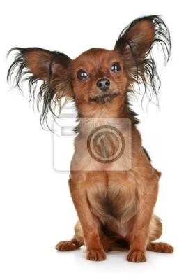 Fototapeta Rosyjski Długowłosy Pies Rasy Toy Terrier Na Wymiar