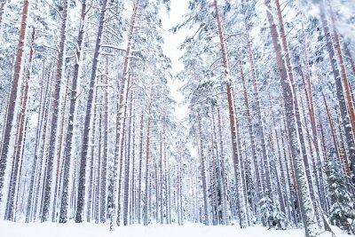 Fototapeta Rosyjski zimowy las droga w śniegu