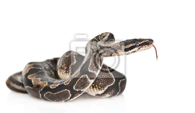 Fototapeta Royal Python, or Ball Python (Python regius) in side view. Isolated on white background