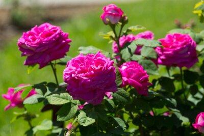 Fototapeta Roze plany na wiosnę