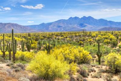 Fototapeta Rozkwitaj? Ce Palo Verdes i Saguaros na wzgórzach Czterech szczytów stóp w pobli? U Phoenix, Arizona.
