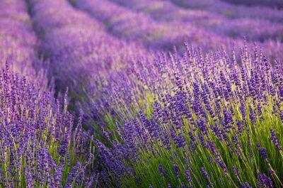 Fototapeta Rozkwitające pola lawendy w Małopolsce