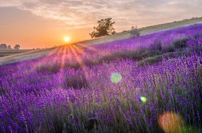 Fototapeta Rozkwitające pola lawendy w Polsce, beautfiul sunrise