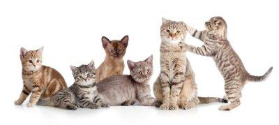Fototapeta Różne koty grupa izolowane