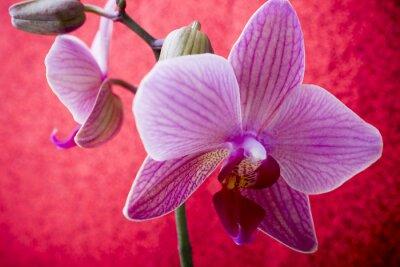 Fototapeta Różowa orchidea na kolorowym tle.