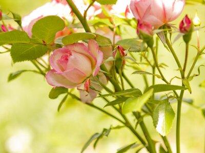 Fototapeta różowa róża ogród kwiatowy