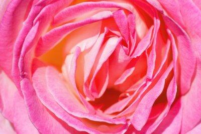 Fototapeta różowa róża z bliska