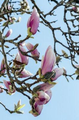 Fototapeta Różowe kwiaty, gałąź magnolii kwiaty drzewa, niebo niebieskie tło.